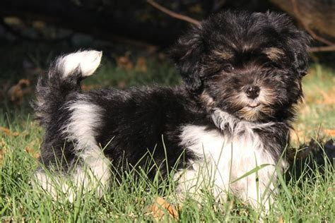 havaneses puppies havanese puppies for sale from reputable breeders