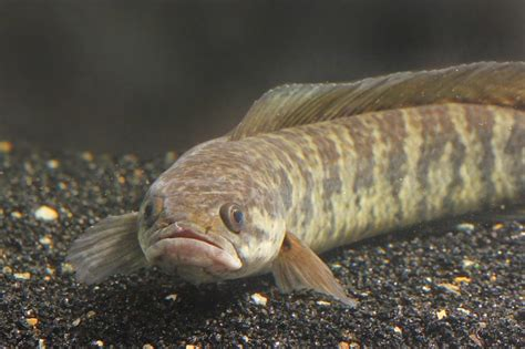 jenis ikan populer sebagai bahan membuat kerupuk ikan