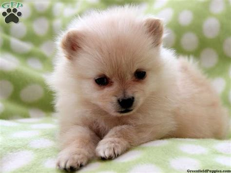 teacup pomeranian for sale in pa sale in pa pin white pomeranian puppies for sale teacup on breeds picture