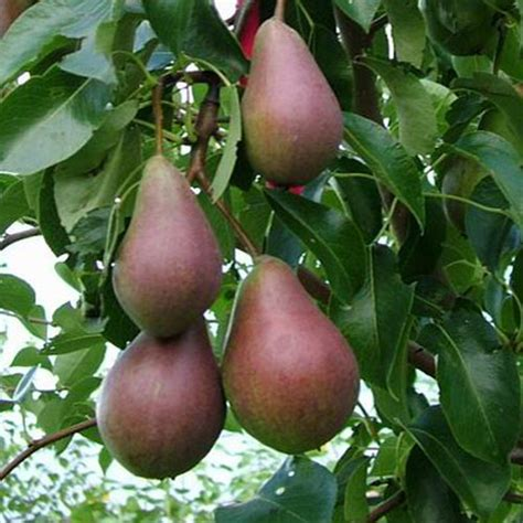 fruit trees for sale nz pear trees for sale in new zealand