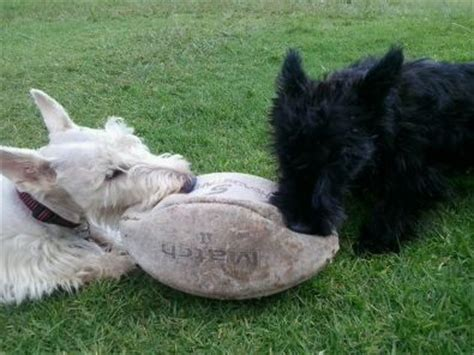 wheaten scottish terrier puppies for sale wheaten scottish terriers scotties for sale west rand dogs and puppies junk