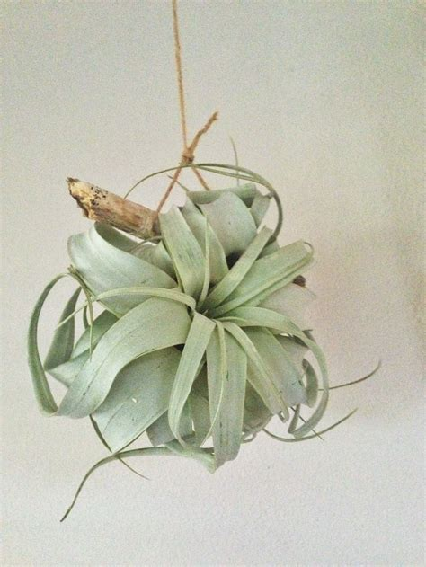hanging air plant 107 best images about air plants on pinterest air plant