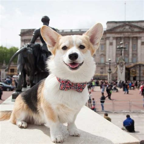 the queen s corgi meet winny the corgi who helped the queen celebrate her