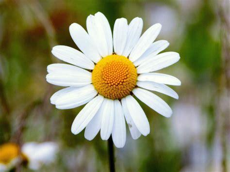 fiore margherita nomi e immagini di fiori di primavera 30 foto