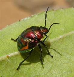 picture of insects file metallic bug nsw jpg