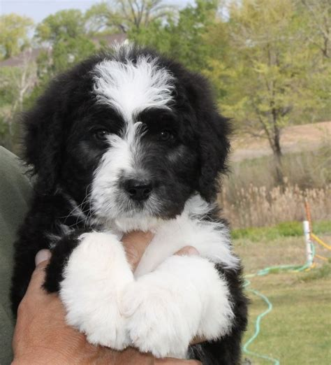 bernedoodle puppies for sale florida 1000 images about bernedoodle puppies on labradoodles puppys and milk