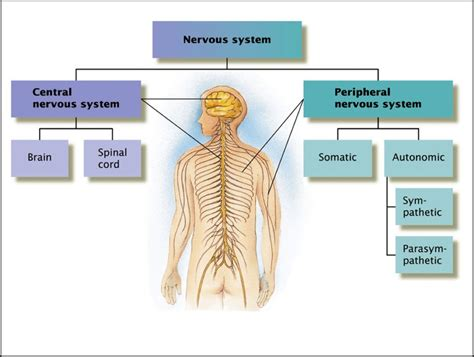 diagram in central nervous system diagram anatomy human