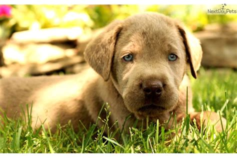 silver lab puppies for sale near me labrador retriever puppy for sale near lancaster pennsylvania 4fe866bc 8bf1