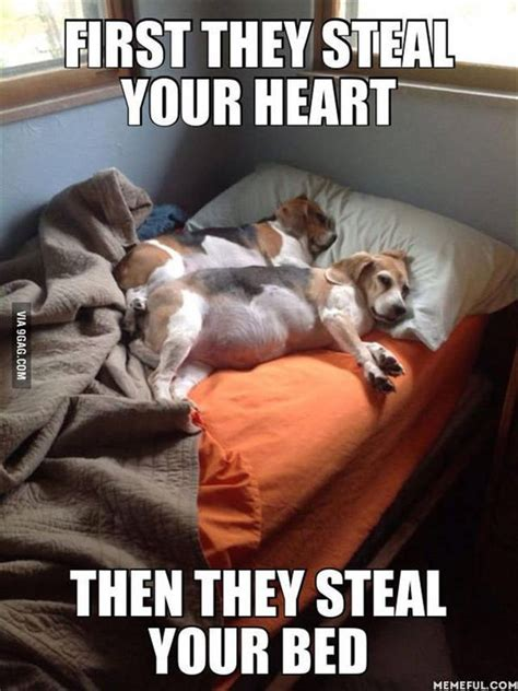 Animal In Bed Meme - 1000 ideas about pictures of dogs on pinterest funny