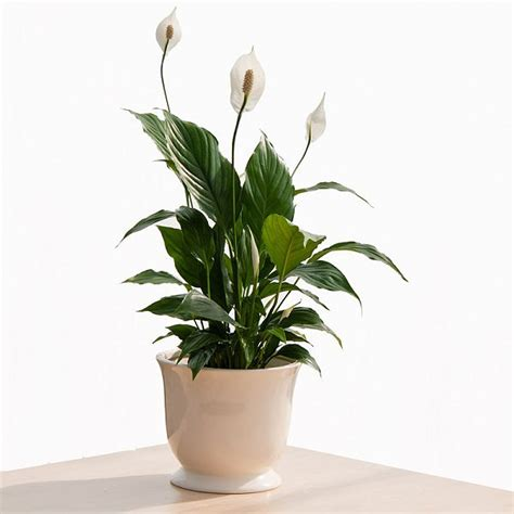 easy houseplants 15 easy to grow houseplants for beginners corner