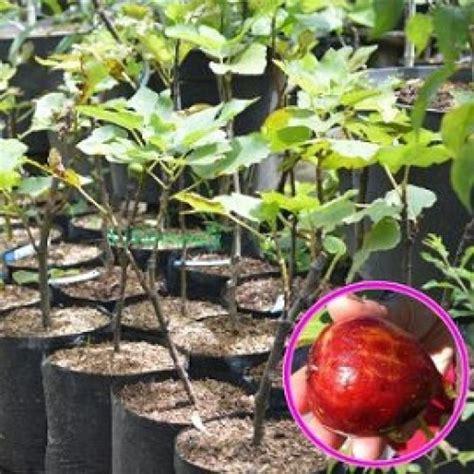 jual tanaman buah ara tin masui dauphine hp 085608566034