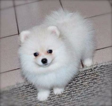 white pomeranian price white pomeranian puppies for sale at palakkad palakkad animal agriculture kerala