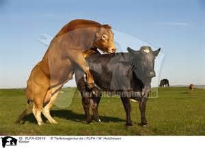 tiere beim decken flpa 02619 rinder cattle bilder fotos