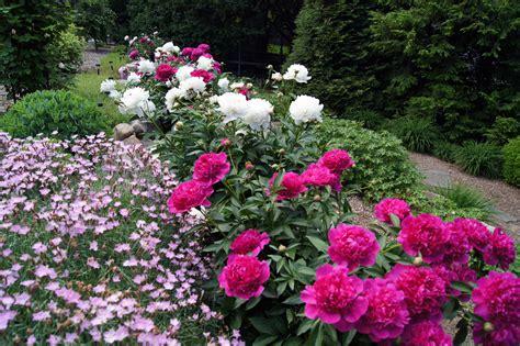 Peony Garden by Peonies In Clare S Garden In New Jersey Gardening