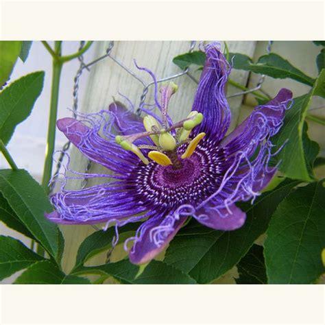 Passiflora Incarnata Pflanze Kaufen 3647 by Samen Saatgut Passionsblume