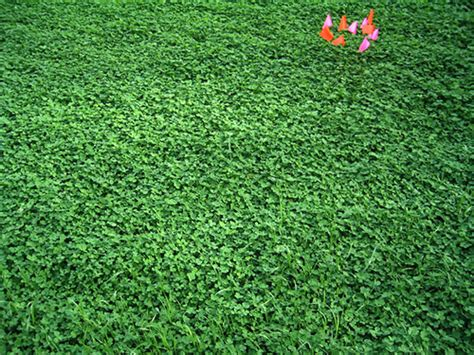 clover lawn and landscape clover yard flickr photo