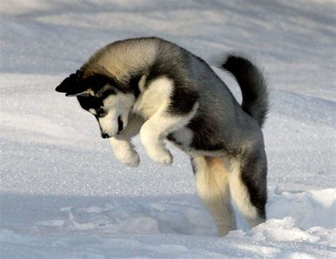 snow husky puppy husky puppies in snow wallpaper husky puppy and animal