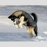 Cute Husky In Snow | 800 x 617 jpeg 50kB