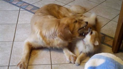 golden retriever pomeranian golden retriever vs pomeranian suri and elly