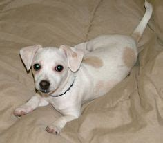 cheagle puppies for sale 1000 images about puppies on teacup terrier puppys and smallest breeds