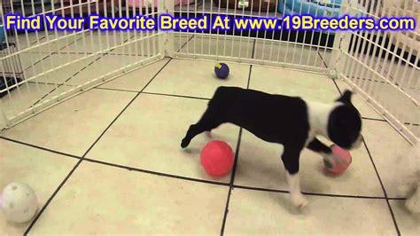 boston terrier puppies kansas city boston terrier puppies dogs for sale in kansas city
