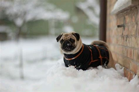 winter jackets for pugs winter pug pug pugs and winter