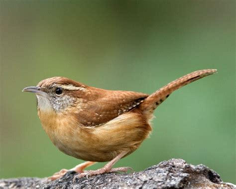 state bird of carolina carolina wren images les animaux