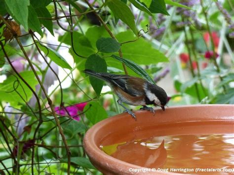 backyard bird identifier