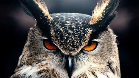 wallpaper owl  hd wallpaper eyes wild nature gray