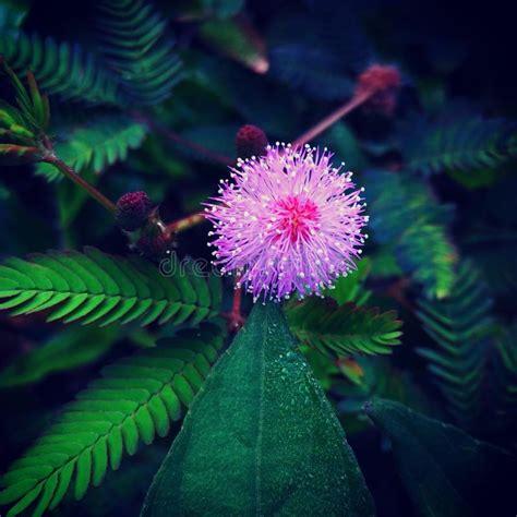 di fiore fotografo fiore di principessa di vergogna fotografia stock