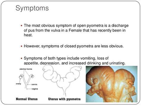 pyometra symptoms in dogs pyometra