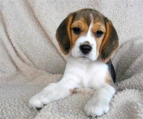 beagle in appartamento cerco cucciolo beagle da privato a cani beagle in cerco