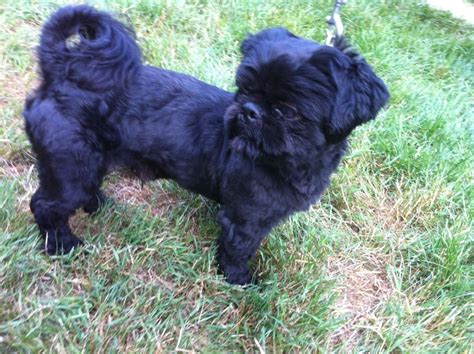 solid black shih tzu solid black shih tzu kc reg for stud west malling kent pets4homes