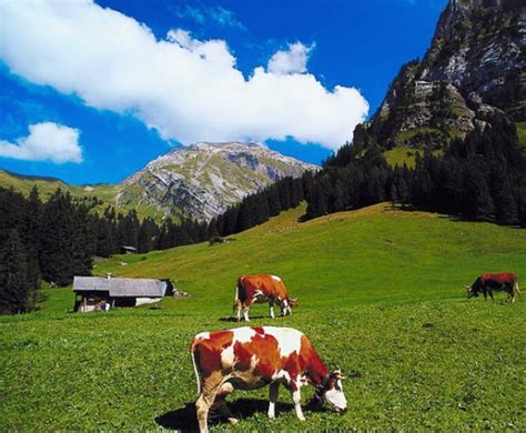 cows grazing in the swiss alps