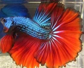 betta fish colors pin by amanda beeler on fish