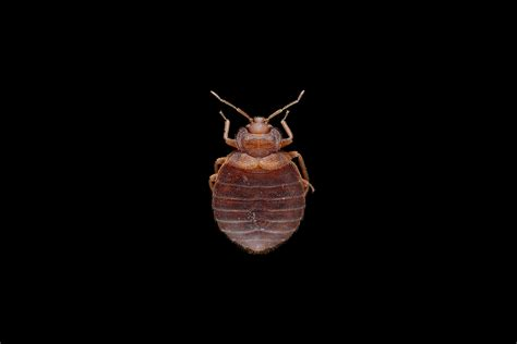 bed bug pest control cost bed bug pest control cost singapore bed furniture decoration