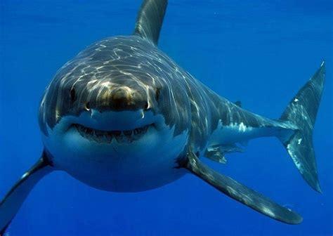 imagenes impresionantes de tiburones 191 cu 225 ntos a 241 os vive un tibur 243 n