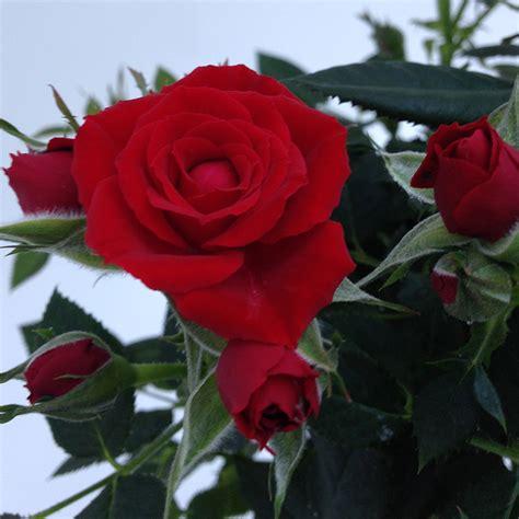 forever roses love forever roses forever