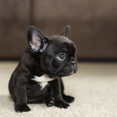 black bulldog puppies black bulldog puppy bulldog black bulldogs
