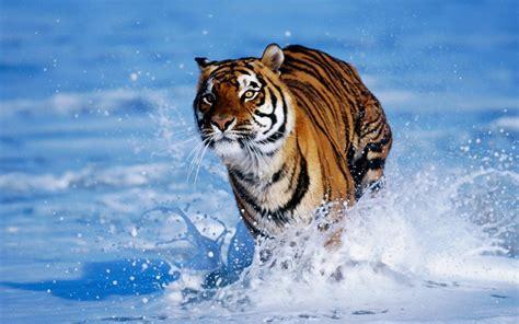 imagenes 4k tigre tigre court dans l eau wallpaper