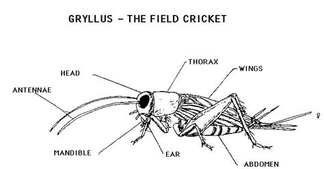 cricket anatomy diagram cricket studying and anatomy on