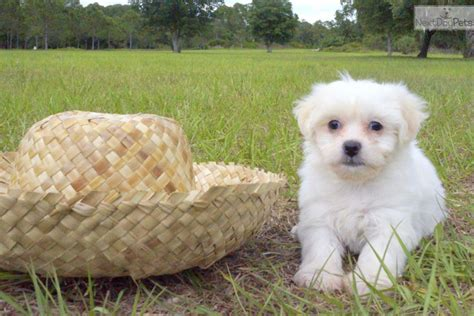 puppies sarasota breed info teddy puppies breeds picture