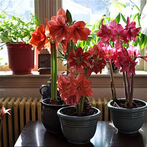 amaryllis   grow indoor blooms gardenerscom