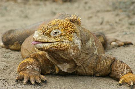 imagenes animales galapagos gal 225 pagos 10 animales en peligro de extinci 243 n para no