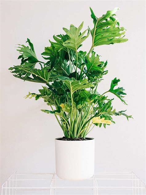 plants for indoors 18 best large indoor plants tall houseplants for home