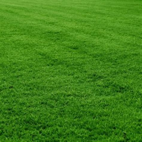 buy mexican lawn grass seeds  grams   cheap