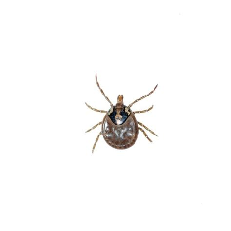 how to remove a tick from a how to remove a tick from dogs safely argos pet insurance