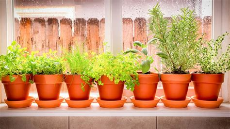 best indoor herb garden the secret to growing herbs indoors realtor com 174