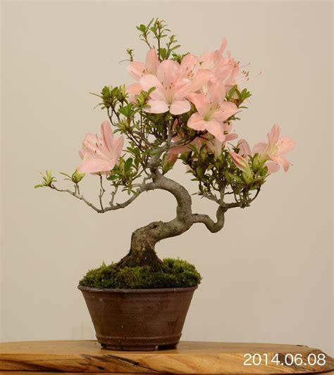 satsuki azalea flowering bonsai tree bonsai garden bonsai