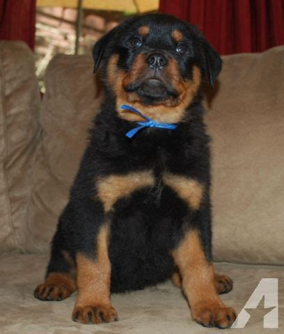 german rottweiler for sale in ga documented german rottweilers for sale in clarkesville classified